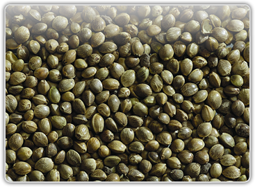 nasiona konopii